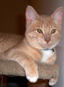 A young orange and tan tabby looks confidently out from his perch atop a cat tower.