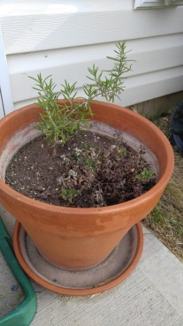 Rosemary and a very sad little oregano. Hope I didn't kill it...
