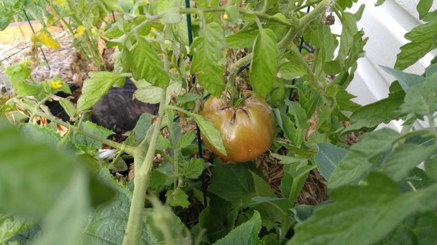 Tomato #2! This one will be purple when it's ripe.